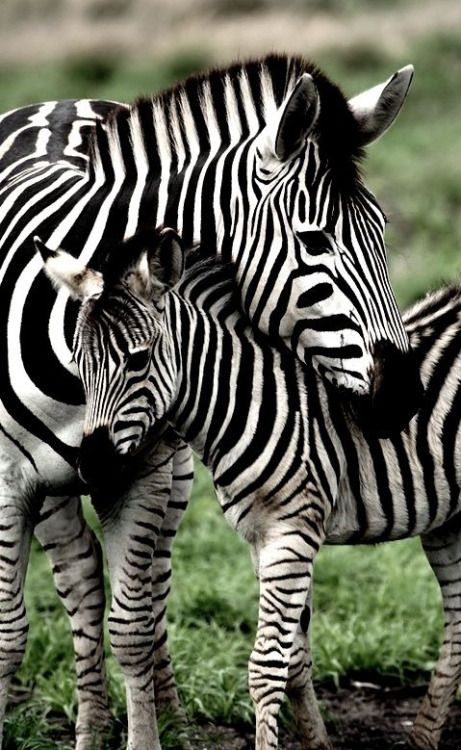 Baby Zebras In Africa 1354 best Anima...