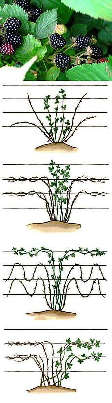 (+1) тема - Правильная обрезка ежевики осенью для повышения урожайности кустов | 6 соток