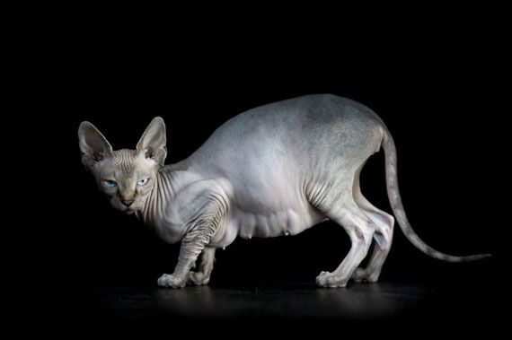 photo furless-portrait-photography-sphynx-cats-alicia-rius-13_zpsmx7qfhga.jpg