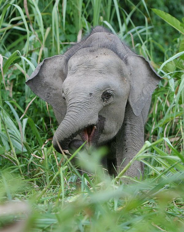 Pygmy Elephant 2by ~kontiki1 | Elephants | Pinterest