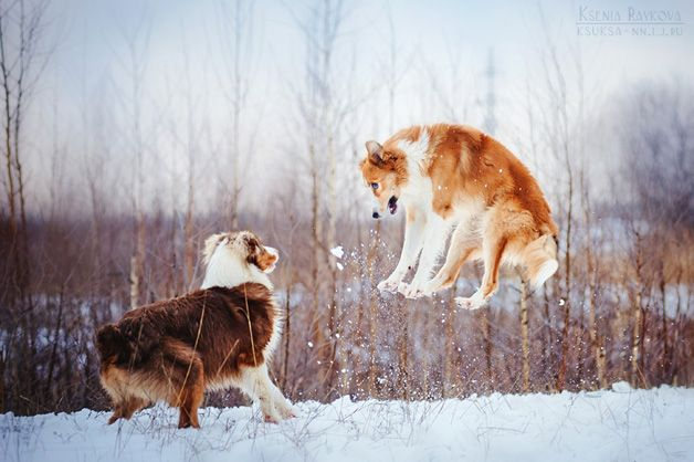A fotógrafa russa Ksenia Raykova, de apenas 20 anos, consegue captar em imagens toda a doçura dos cães e mostra os motivos pelos quais nós não conseguimos viver sem tê-los por perto. Em fotos vívidas e divertidas, cães das mais diversas raças, tamanhos e tipos se divertem, brincando junto a outros cachorros, ratinhos e até mesmo cavalos. As imagens têm uma beleza incrível! - ksenia-raykova17