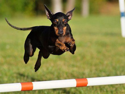 Conheça a Raça Manchester Terrier Toy