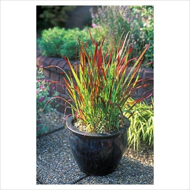 Japanese blood grass potted landscaping cabbage for Tall grasses for pots