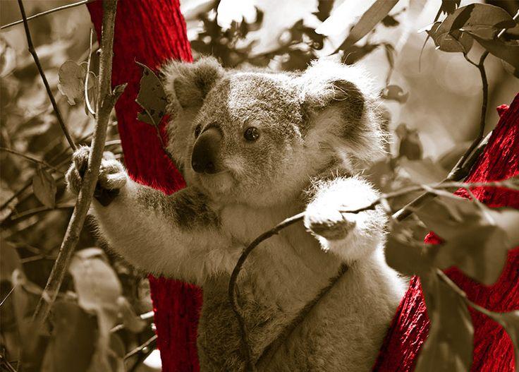 WallArt - Koala - Presentorium