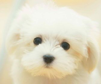 Best Cute Puppy Names For Maltese Best Cute Puppy Names Dogs