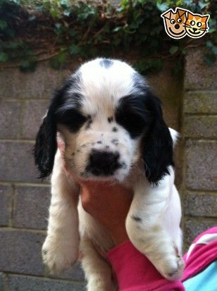 Adorable Sprocker Spaniel Puppies | Salisbury, Wiltshire | Pets4Homes