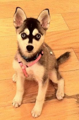 @Lisa Phillips-Barton Head -- I want her!!! Miniature Husky!!! Skyy the black and white, blue eyed Alaskan Klee Kai as a 4 month old puppy.