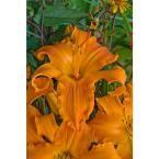 Rainbow Rhythm Primal Scream Daylily (Hemerocallis) Live Plant, Orange Flowers, 1 Gal.