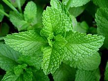 Mint-- Might be a nice alternative ground cover for in front of the shed?