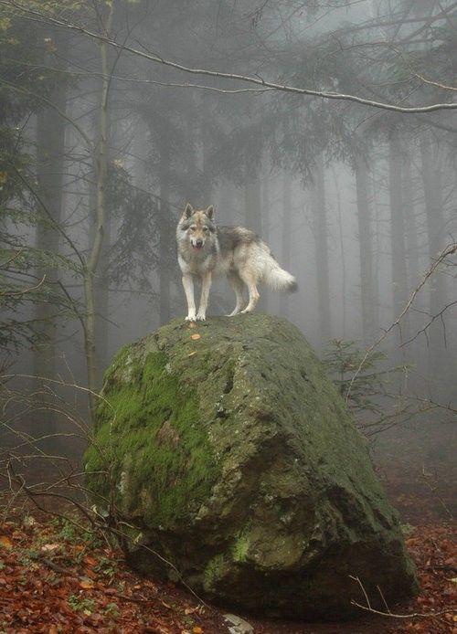 Wolf, Forest, Fog, King, Rock