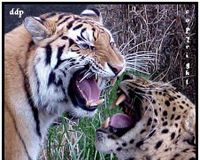 Russia: Crackdown on Illegal Logging of Amur Tiger and Leopard Habitat