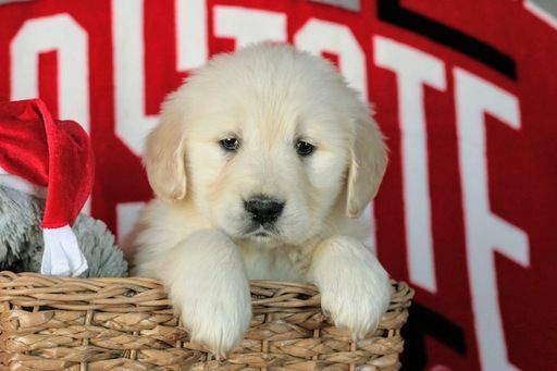 Litter Of 5 Golden Retriever Puppies For Sale In Dundee Oh Adn