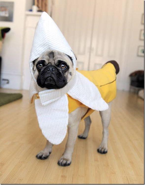 Funny pug Halloween costumes, via @carrotsncake
