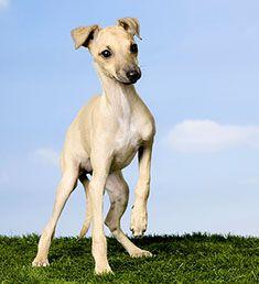 Italian greyhound puppy-one day Billie will have a friend