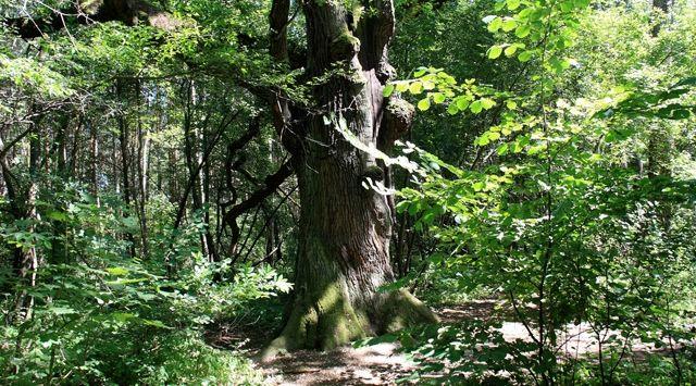 Bu Ağaç Tam 1012 Yaşında