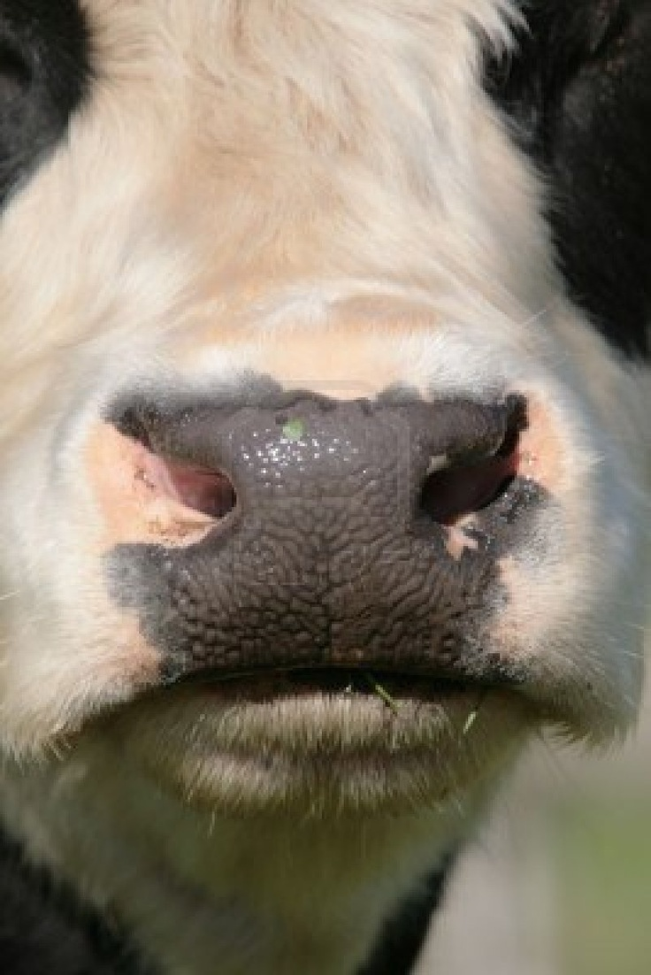 Close up of a Friesian cow nose without a nose ring