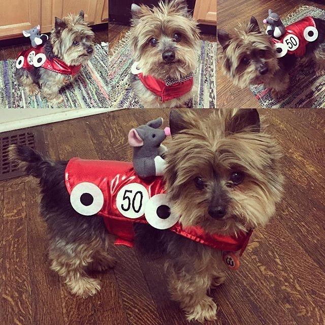 #Repost @brandygray419  Happy Thursday! It's #nationaldressupyourpetday so here is race car Reggie!  #nationaldressupyourpetday2016 #yorkie #yorkielove #yorkiesofinstagram #ilovemydog #instayorkie #clubdogsandcats #proudyorkies_feature #doggiez4doggiez #dailydogfeaturesss #dogsofinstagram #fancypetpack #woofpackbros4life #woofpackbros #teammr