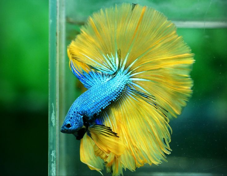 blue yellow dragon angry fish pinterest blue yellow