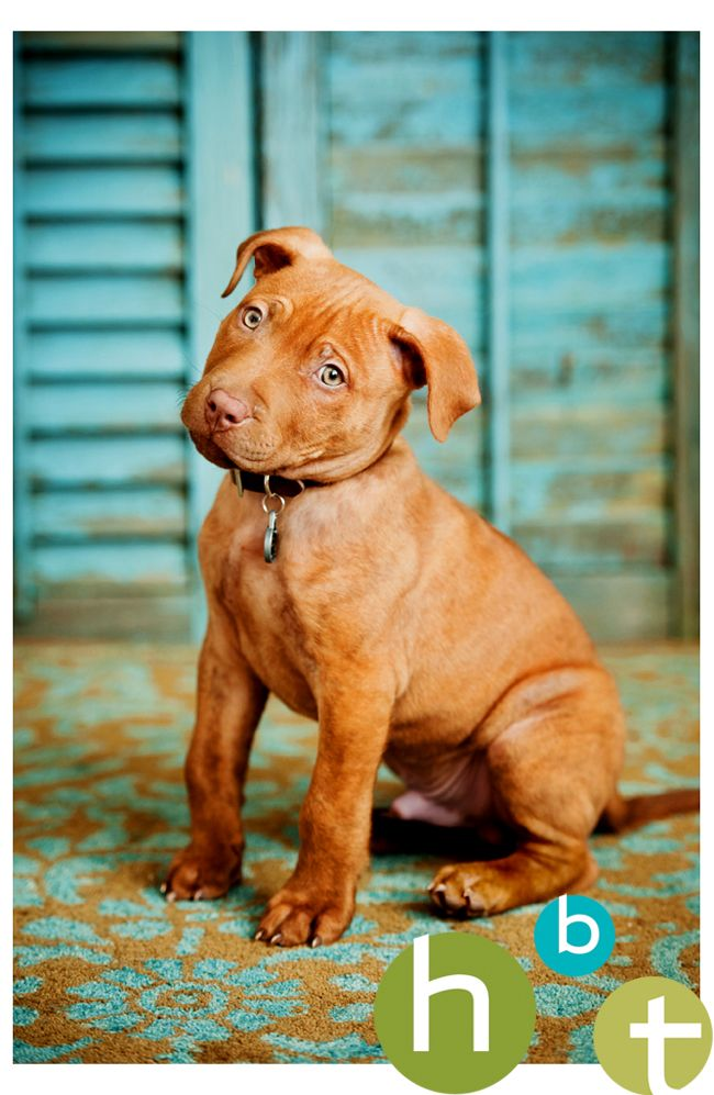 Sweet Little Pit Bull puppy! <3 {Pet Photography} {Dog} {Puppies} {Photo Session Ideas} {Pet Portraits}