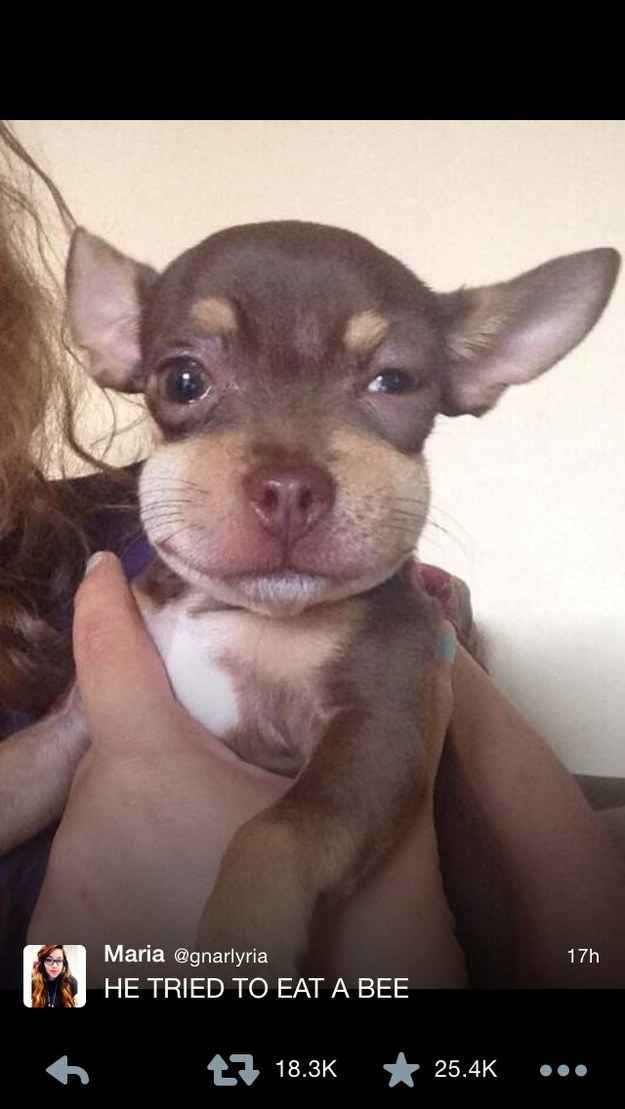This puppy who ate his last bee. | 37 Animals Who Failed So Spectacularly They Almost Won