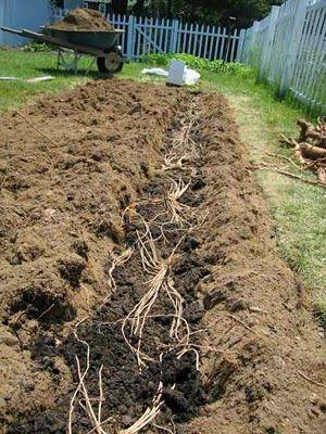The Garden of Eaden: HOW TO PLANT ASPARAGUS CROWNS