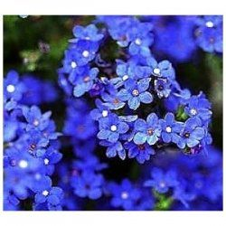 """Forget-Me-Not Flowers    Plant these Forget Me Not flowers in Full Shade to Partial Shade. Their Mature Height is 18"""". For zones 4-9."""
