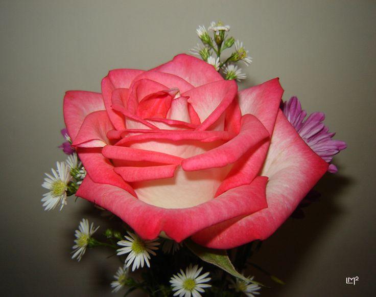 rosa colombiana tipo exportación