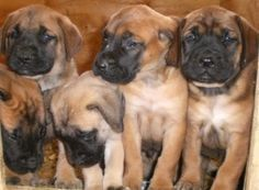 Find out more about  raising your new mastiff puppy. Includes helpful tips and facts about owning, maintence and training your English Mastiff as they grow and become part of your family.