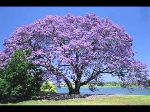 Árboles nativos de Argentina: Jacarandá, ceibo, sauce llorón y otros!