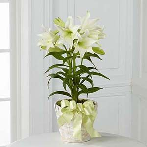 The FTD® Easter Lily Plant http://www.enchantedfloristcanada.com/product/the-ftd-easter-lily-plant-2012/display