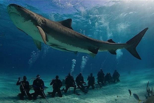 Pesquisadores 'instalam' GPS em tubarões em programa de preservação   Pesquisadores da Universidade de Miami, no estado americano da Flórida, fizeram um estudo para descobrir como o ecoturismo afeta o comportamento dos tubarões. Há um debate entre os especialistas em conservação sobre se as empresas que oferecem pacotes de mergulho para observação de tubarões podem estar prejudicando esses animais. http://mmanchete.blogspot.com.br/2012/10/pesquisadores-instalam-gps-em-tubaroes.html