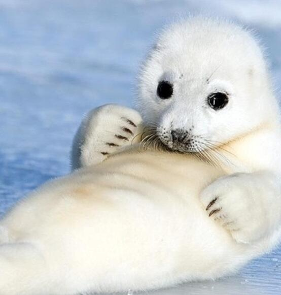 39 best images about Cute seals on Pinterest | Harp seal ...