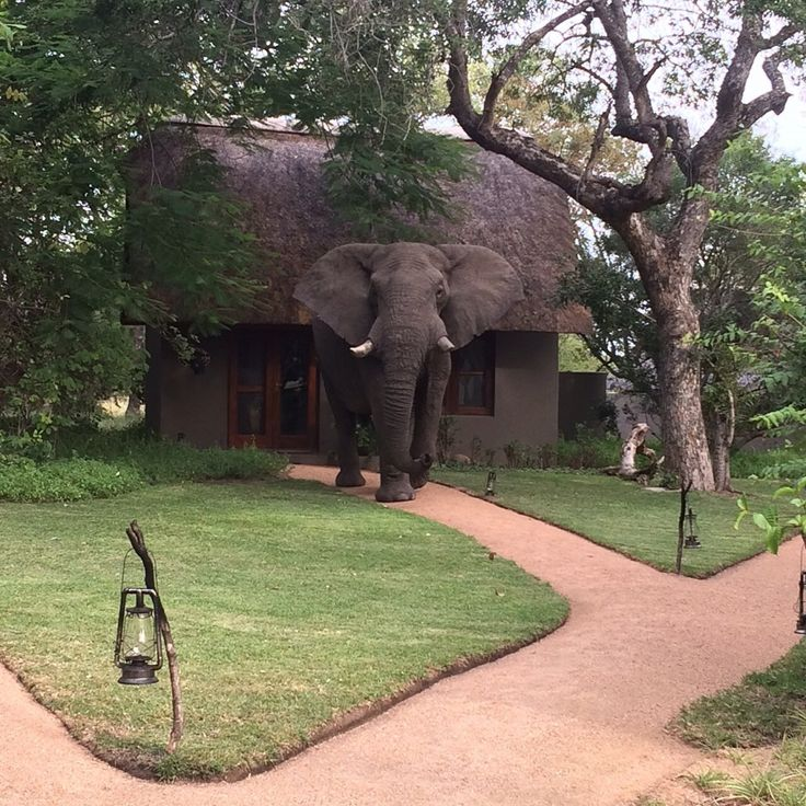 In camp now!! A return visit from one of our VIP Guests at Selati Camp!  PhonePic by Eve Wood-Hill