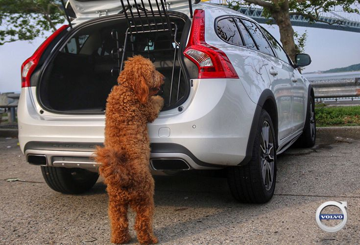 Samson the Goldendoodle loves road trips in the Volvo V60 Cross Country. To keep your dogs safe ...