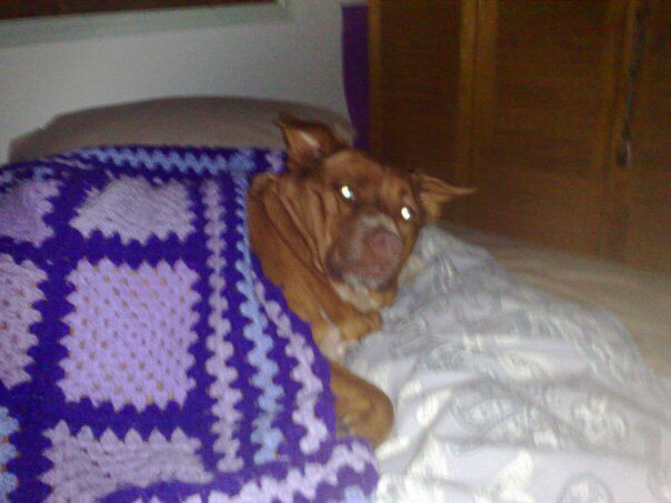 Stop taking photos I trying to sleep - Red Cattle Dog Cross