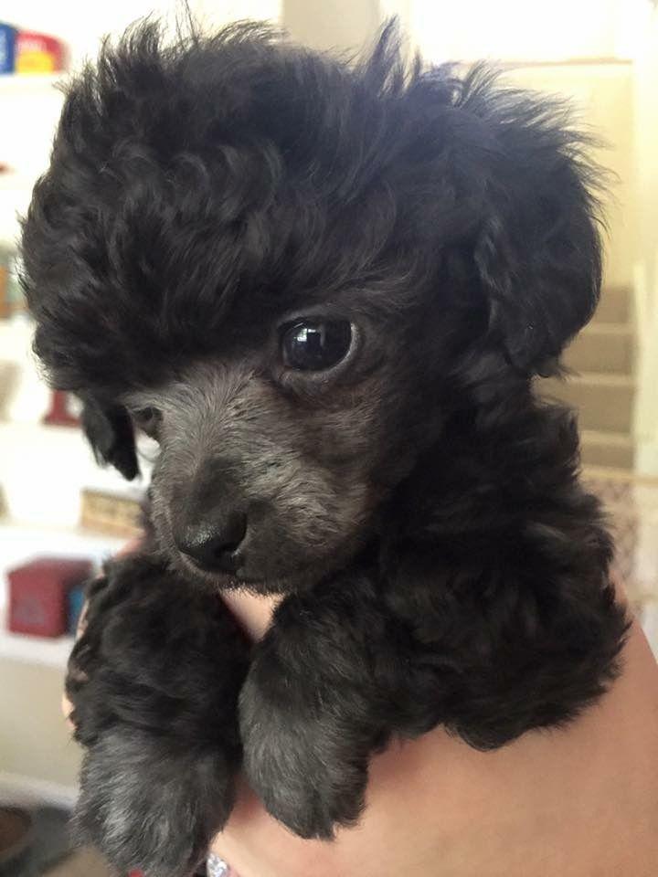best 25 poodle haircut ideas on pinterest poodles
