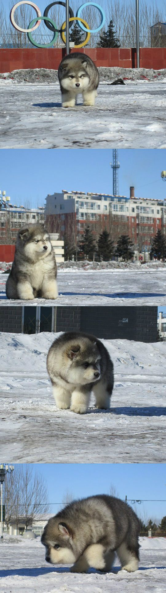 So This Dog Exists And He's Ridiculously Fluffy // funny pictures - funny photos - funny images - funny pics - funny quotes - #lol #humor #funnypictures