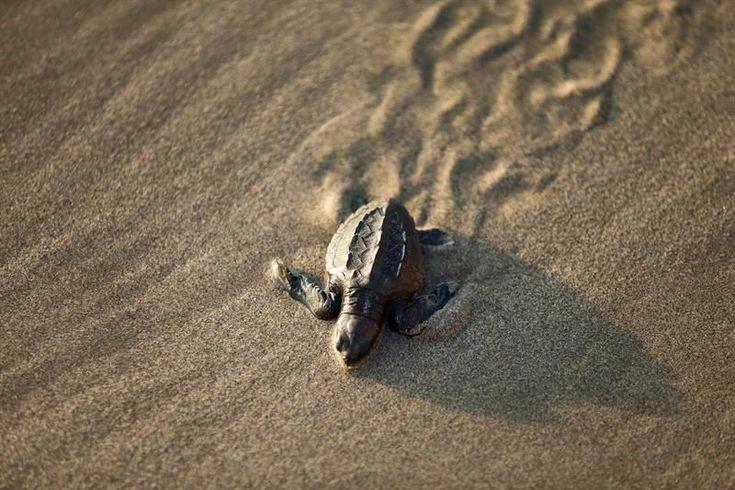 Tenistas del Abierto Mexicano se unen a la liberación de tortugas en Acapulco