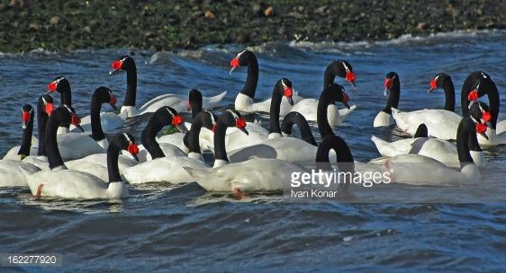 Stock Photo : Black necked swans (Cygnus melancoryphus) in Chiloe, Chile
