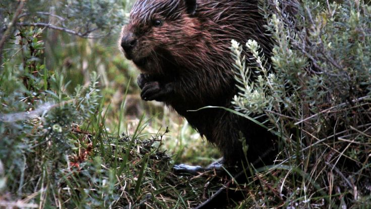 The Beaver Slayers of Patagonia   Motherboard