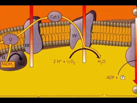 Electron Transport Chain Song (Come on Down) - YouTube