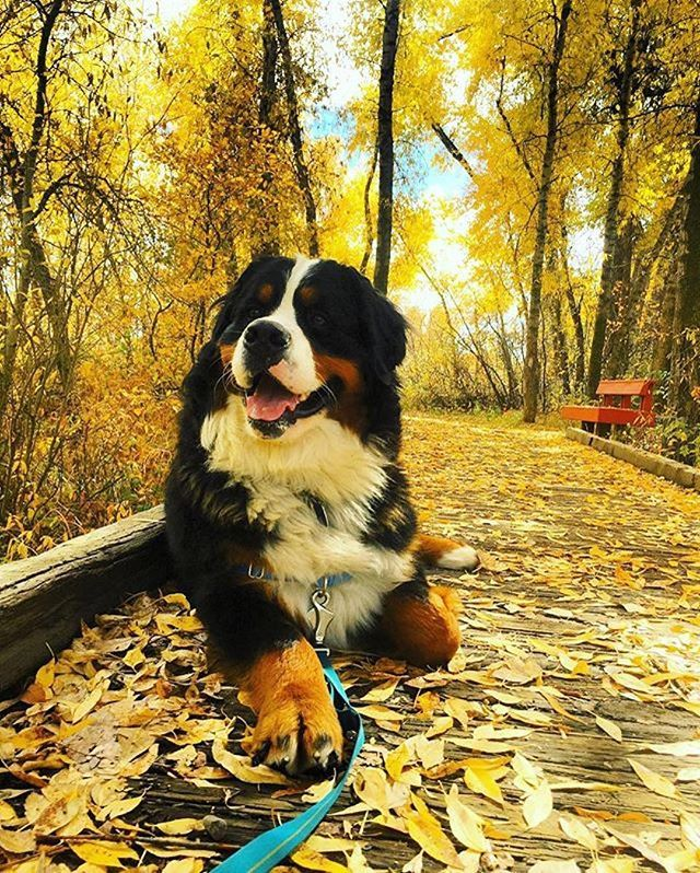 Beautiful Bernese Mountain Dog Chubby Adorable Dog - a37f04df2f48cbb90a5beda111e555ab--bernese-mountain-dogs-staffordshire-bullerrier  2018_227867  .jpg