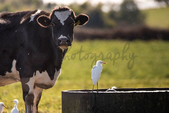 *******DIGITAL INSTANT DOWNLOAD*******  This is an original photograph of a Cattle Egret with a Cow, taken by EVM Photography.  This file is