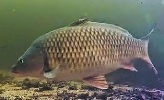 Tatlı su balık avcılığı: Pullu Sazan ve Aynalı Sazan Farkı - Avlama Yönteml...