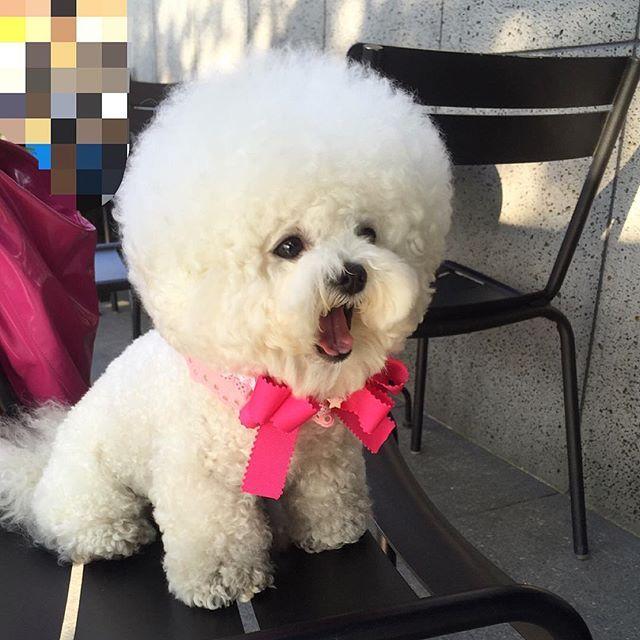 Popular Spherical Chubby Adorable Dog - a37fd49bb3f1a178ddd38d17ab8cf760--round-haircut-bichon-toy  2018_952942  .jpg