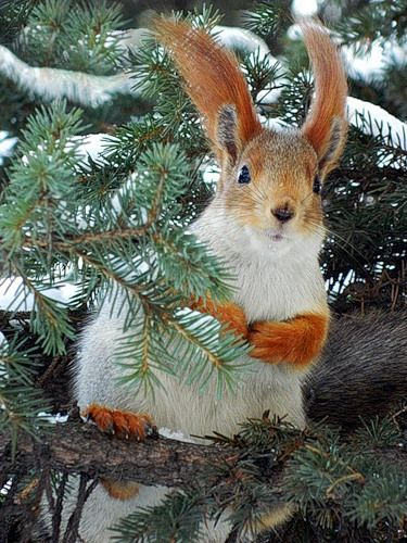 The winter coat of a Russian squirrel... those ears, those gloves... ♥