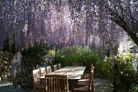 the house or garden seating can be shaded by a peignoir of wisteria during the heat of late summer
