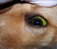 Identificado en la esclerótica del ojo que asume un color amarillo cetrino 1 – Infusión e