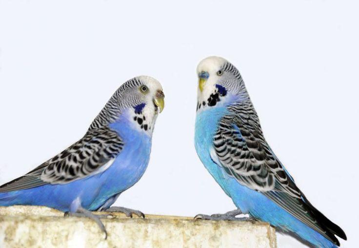 Budgies Parakeets Yahoo Image Search Results Budgies Pets Pet Birds