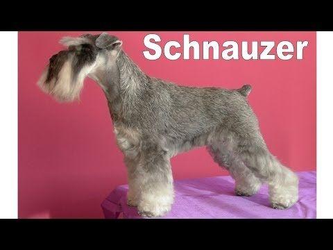 Peluquería Canina - Schnauzer - YouTube